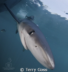"""Being a bit nosy"" - the lovely, curious blues (Prionace ... by Terry Goss"