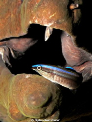 Cleaning wrasse with moray background. by Cigdem-Sean Cooper