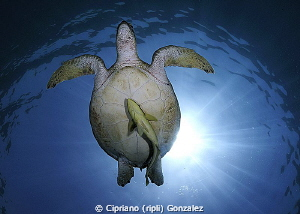 Turtle at amazing Abu Dabbab by Cipriano (ripli) Gonzalez