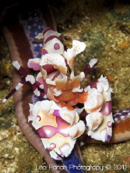 Harlequin Shrimp. Taken in Playas del Coco in Northern Co... by Leonardo Parias