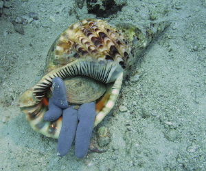 Triton devours blue starfish.