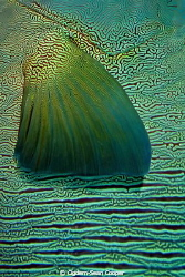 Detail of Napoleon Wrasse. by Cigdem-Sean Cooper