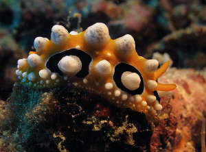 """""""Eyed"""" Phyllidia ocellata by Chris Krambeck"""