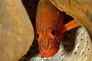 Fish portrait  (Grouper)  by Iyad Suleyman