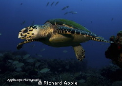 "Young Hawksbill Turtle ""in flight"" after leaving a restin... by Richard Apple"