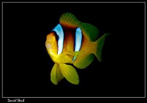 Red sea clown fish :-D by Daniel Strub