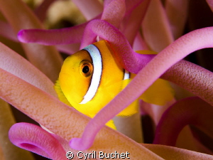 Clownfish, shot with 60mm and +5 diopter f/16, 1/200s by Cyril Buchet