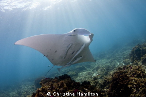 Byron Manta by Christine Hamilton