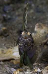 Sailfin Blenny Charging the lens in a standoff against hi... by Suzan Meldonian