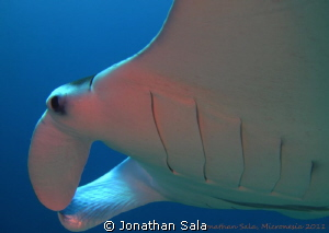 Manta at German Channel, Rep of Palau, Micronesia by Jonathan Sala