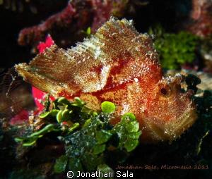 Leafe Scorpionfish by Jonathan Sala