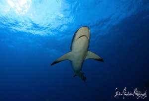 This Reef Shark makes it's way thru the sunlight for the ... by Steven Anderson