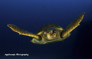 Loggerhead Turtle swimming at 90 feet along the wreck of ... by Richard Apple