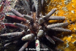 Pencil Urchin on the Fish Camp Rocks off the beach in For... by Michael Kovach