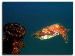 Cuttlefish from Sabang Beach by Libor Spacek