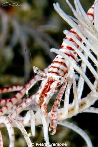 Crinoid Shrimp by Pietro Cremone