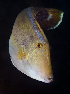 Six-spined Leatherjacket. Shiprock, Port Hacking by Doug Anderson