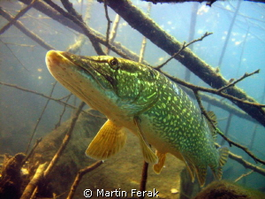 pike by Martin Ferak