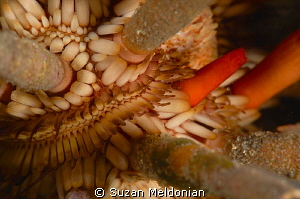 Pencil Urchin close up. by Suzan Meldonian