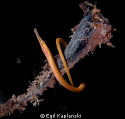 A needle fish that winds around an old kelp stalk
