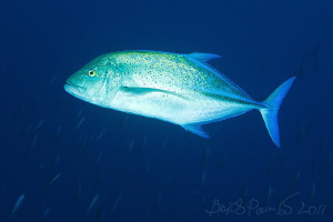 Bluefin trevally in water of Miyaru Ga Thila by Boris Pamikov