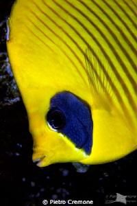 Masked butterflyfish by Pietro Cremone