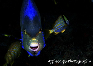 Queen Anglefish Gets Electric! by Richard Apple