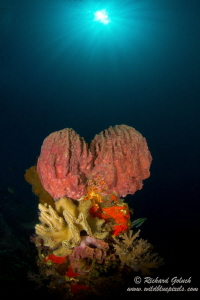 Coral Bouquet-Weda Bay ,Halmahera Island by Richard Goluch