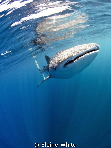 Whaleshark coming through the waters of Djibouti.