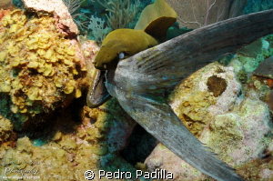 Green Moray eating her lunch.