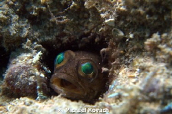 Dusky Jawfish in its burrow at the Fish Camp Rocks off th... by Michael Kovach