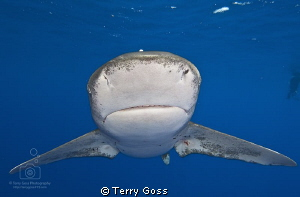 """You Rang, Sir?"" - oceanic whitetip (Carcharhinus longima... by Terry Goss"