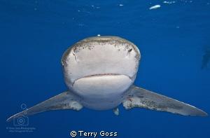 """You Rang, Sir?"" - oceanic whitetip (Carcharhinus longima... by Terry Goss"