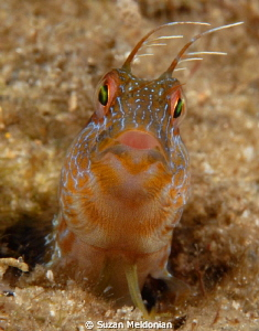 Cute seaweed blenny in a 5 knot current- sans grappling h... by Suzan Meldonian