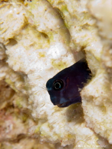 Blenny. by Stéphane Primatesta