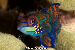 Mandarinfish by Iyad Suleyman