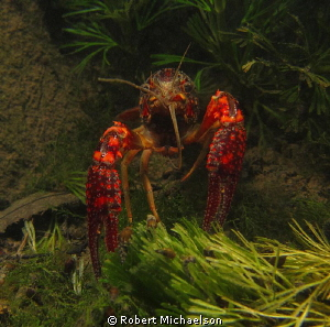 Crayfish in the Comal River New Braunfels, Texas. Maybe l... by Robert Michaelson