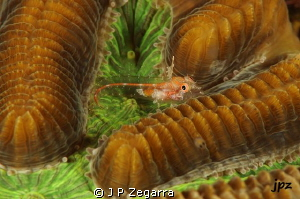 unidentified triple fin blenny... by J P Zegarra