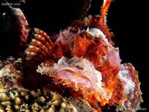 Young scorpionfish. by Stéphane Primatesta