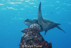 Small turtle hovering over coral. by Ralph Turre