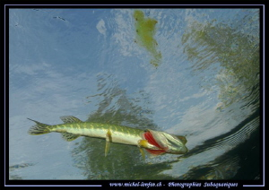 Young Pike Fish jawning close to the surface... :O)... by Michel Lonfat