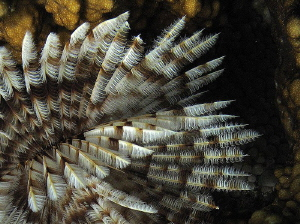 annelid gill plume by Chris Krambeck