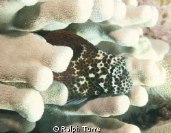 Spotted coral blenny in Antler Coral. by Ralph Turre
