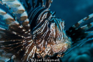 Lionfish Focus on eye, small clockwise rotaition of came... by Iyad Suleyman