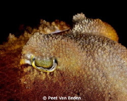 Through the eye of a cuttlefish by Peet Van Eeden