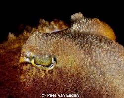 Through the eye of a cuttlefish by Peet Van Eeden