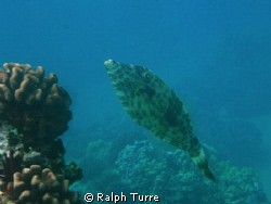 Scrawled Filefish posing by coral head. by Ralph Turre
