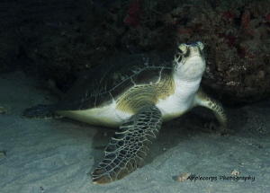 """Green Turtle Attitude"" at 75 Ft along the Juno Beach, FL... by Richard Apple"