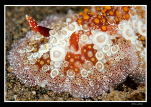 Close up nudi with +10 diopter by Dray Van Beeck