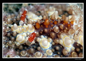 Close up nudi with +10 diopter  2 by Dray Van Beeck
